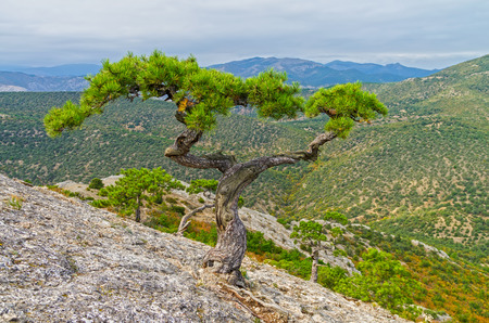 treetops: Relic pine with intricately curved trunk and two treetops on the mountain Sokol (Kush-Kaya). Crimea, September.