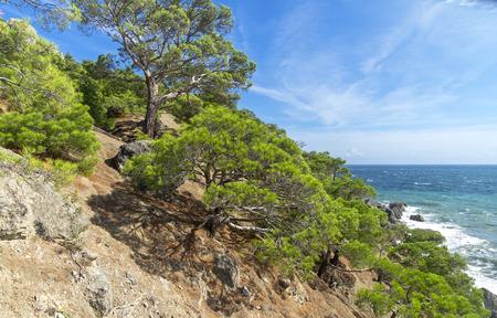 sudak: Relict pine trees on the hillside. The Black Sea coast. Crimea, September.