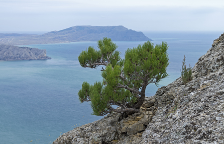 relict: Small relict pine tree on a rocky cliff on the background of the sea. Mount Falcon (Kush-Kaya), Crimea. September,  cloudy.