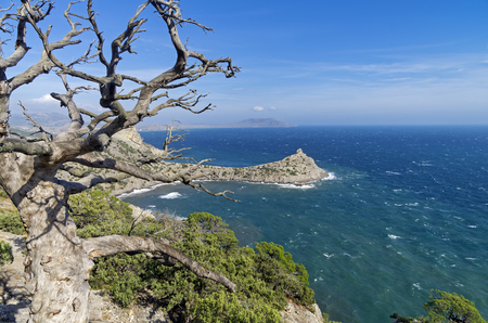 sudak: Dried relict pine tree over the sea. Crimea, September.