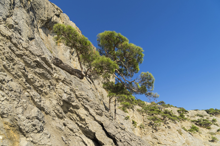 relict: Relict pine trees on a steep mountain slope. Crimea