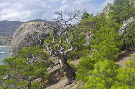 sudak: Dried relict pine in the forest on the mountainside. Crimea, September.