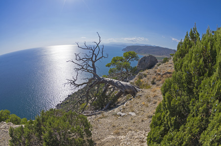 fish eye: Dead relict pine on the background of the sea. Fish Eye lens view. Crimea; September. Stock Photo