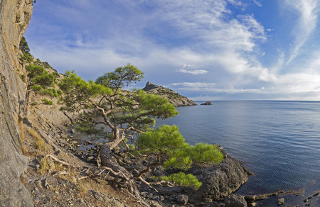 relict: Relict pine tree next to an old ruined mountain trail over the sea. Crimea, September.