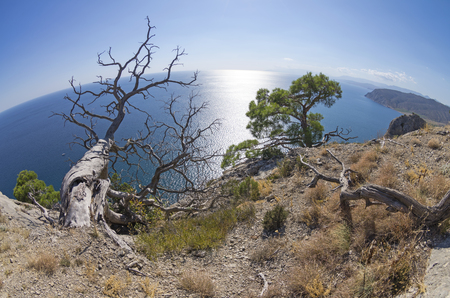 fish eye lens: Dead relict pine on the background of the sea. Fish Eye lens view. Crimea; September. Stock Photo