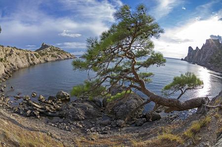 fish eye: Relict pine tree on the sea shore. Fish Eye lens view. Crimea, September. Stock Photo