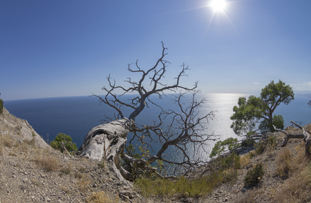 sudak: Relict pine trees above the sea. Crimea; September. Stock Photo
