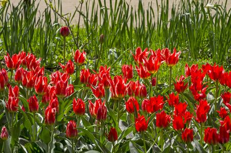 Bright red tulips on the lawn.