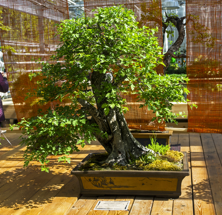 May-tree (Crataegus) - Bonsai in the style of Straight and free. Exhibition of Bonsai in Aptekarsky Ogorod (a branch of the Botanical Garden of Moscow State University), Moscow, Russia