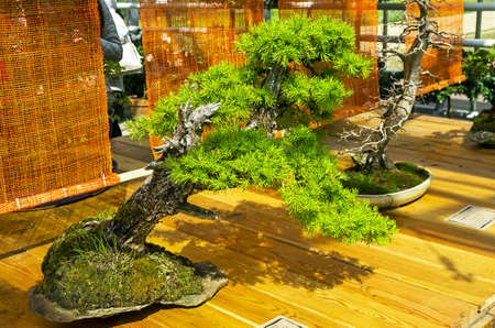 European larch - Bonsai in the style of Inclined.  Exhibition of Bonsai in Aptekarsky Ogorod (a branch of the Botanical Garden of Moscow State University), Moscow, Russia