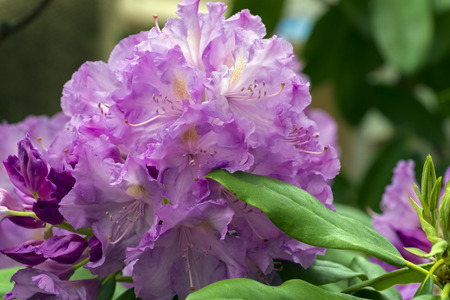 Blooming rhododendron of the Lavanda species. Stock Photo