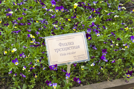 A bed of flowering viola tricolor in a botanical garden. The russian words at the nameplate say viola tricolor