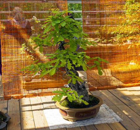 English oak - Bonsai in the style of Bohemian. Exhibition of Bonsai in Aptekarsky Ogorod (a branch of the Botanical Garden of Moscow State University), Moscow, Russia Stock Photo