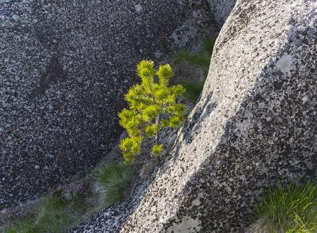 A small pine in the crevice of a granite rock. Karelia, Russia. Sunny day in June. Banco de Imagens