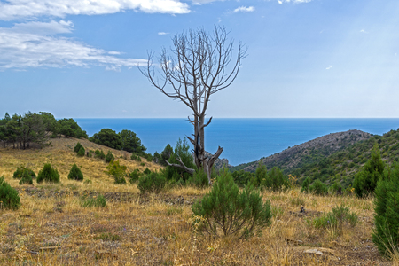 The dried relic juniper (Juniperus excelsa) against the sky. Crimean mountains.