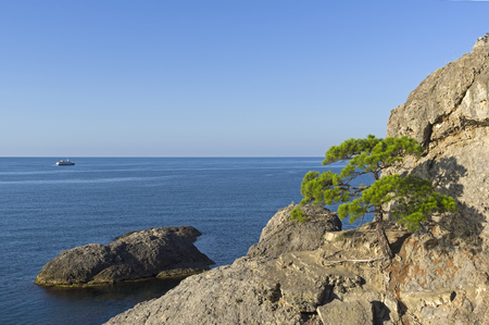 Relict pine on a steep rocky seashore. Sunny morning. Karaul-Oba, Novyy Svet, Crimea.