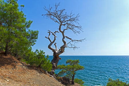Dead relic pine on a steep seashore. Sunny summer day. Karaul-Oba, Novyy Svet, Crimea.