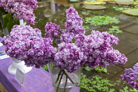 Lilac of the species of Mikhailo Lomonosov in a bouquet