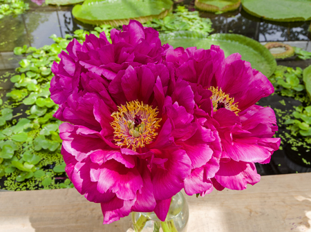 A beautiful peony of Ann Zahller variety.