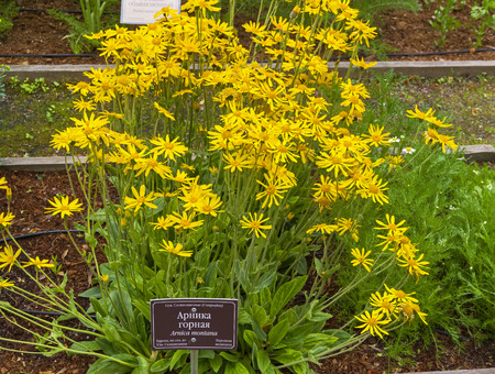 Blooming mountain arnica on the bed in a botanical garden. The russian words at the nameplate say