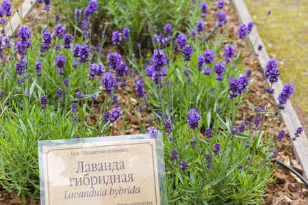 A bed of flowering lavender (Lavandula hybrida) in a botanical garden. The russian words at the nameplate say lavender hybrid