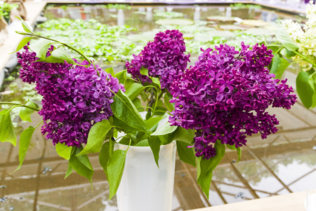Lilac of the species of Monge in a bouquet