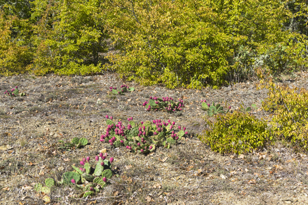 Opuntia cactus with ripe fruits in a clearing in a mountain forest. Crimea, September.
