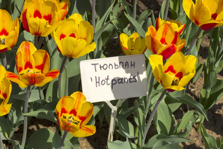 Tulipa of the Hotpants  species on a flowerbed. Translation of the word on nameplate: