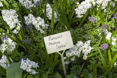 Hyacinth of the Madame Sophie  species on a flowerbed. Translation of the word on nameplate: