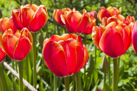 Beautiful bright red tulips in the flowerbed. Sunny day in May. Stock Photo
