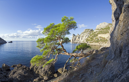 Relict pine from the remnants of the Golitsyn Trail leading from the Novyy Svet to the Royal beach. Sunny summer morning. Crimea. Stock Photo
