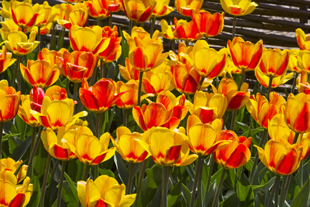 Tulips of the Andre Citroen  species on a flowerbed. Stock Photo