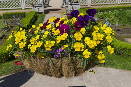 Basket with a blooming violet tricolor as a decoration in the park. Stock Photo