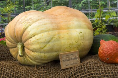 Autumn Exhibition of Agricultural Products. Pumpkin (Cucurbita maxima) of the Big Max variety .