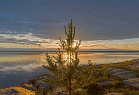 Evening on the White Sea. A little pine tree shuts the sun shining through the clouds. Kandalaksha Gulf, Karelia, Russia, end of June. 版權商用圖片