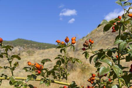 Ripe wild rose hips. Crimean mountains. Sunny day in September. 版權商用圖片