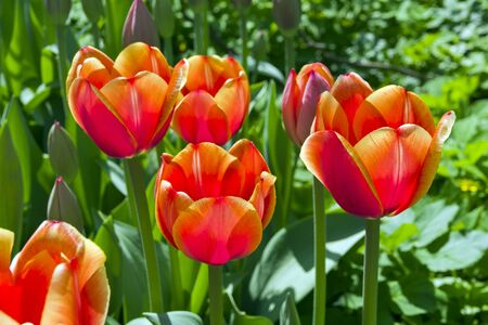 Beautiful bright red tulips in the flowerbed. Sunny day in May.