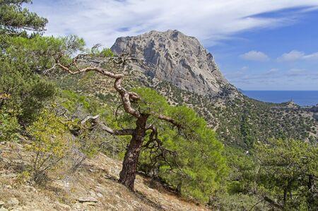 Relict pine on a mountainside against the backdrop of Mount Sokol (Kush-Kaya). Sunny day in September. Novyy Svet, Crimea. 版權商用圖片