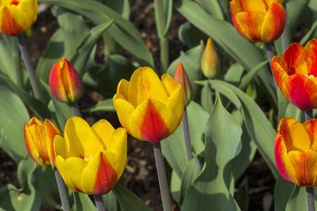 Tulips of the Andre Citroen  species on a flowerbed. 版權商用圖片