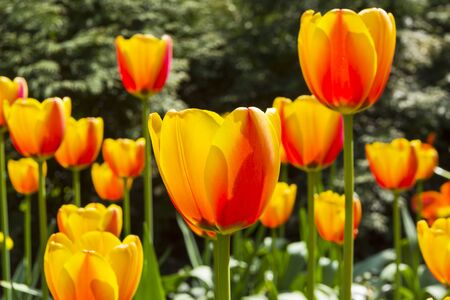 Beautiful red and yellow tulips in the flowerbed. Sunny day in May.