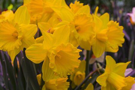 Beautiful bright yellow daffodils in the greenhouse. 版權商用圖片