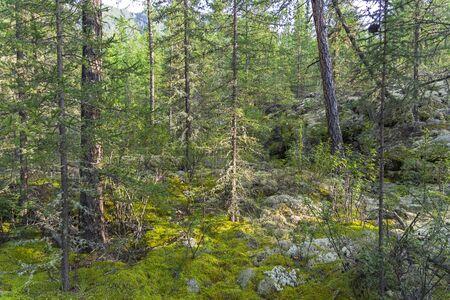 Impassable taiga. Foothills of the Eastern Sayan Mountains, Buryatia, Siberia, Russia.