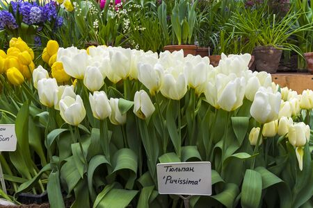 Tulipa of the Purissima species in a greenhouse.