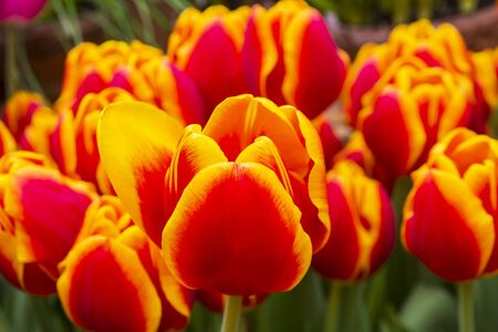 Beautiful red and yellow tulips (Carpe Diem  species) Stock Photo