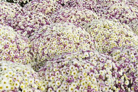 Flower beds of bright blooming chrysanthemums as a background.