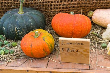 Autumn Exhibition of Agricultural Products. Pumpkin (Cucurbita maxima) of the Bera variety. Standard-Bild