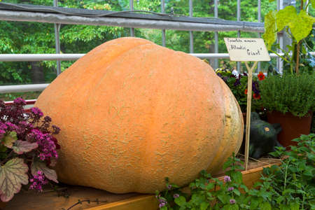 Autumn Exhibition of Agricultural Products. Pumpkin (Cucurbita maxima) of the Atlantic Giant variety.
