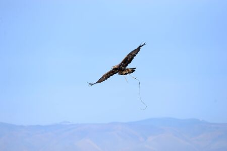 Eagle soaring over the steppe during the hunt photo