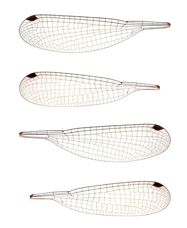 Set of four dragonfly wings may be handy for creating creatures and fairies and stuff