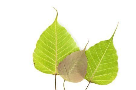 Fallen leaves on white background(Leaf of Bodhi tree, Buddhism spiritual symbol) photo